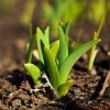 Flowers pushing up are sign of spring. April is gardening month.