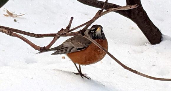 Robin in Gramercy Park